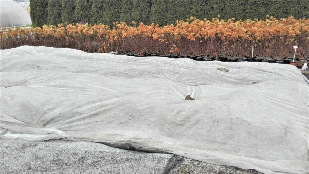 Jak zabezpieczyć rośliny ogrodowe przed mrozem