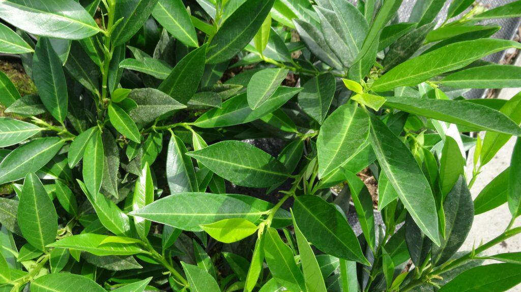 Laurowiśnia 'Otto Luyken', roślina zimozielona o zielonych liściach