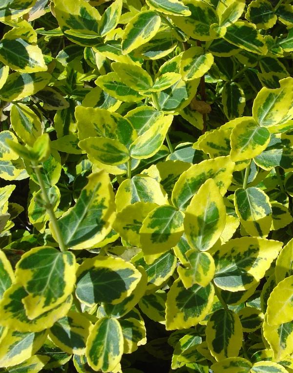 Trzmielina żółta, roślina o zielono-żółtych liściach