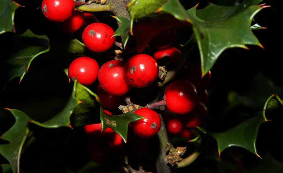 Gałązka ostrokrzewu z czerwonymi owocami