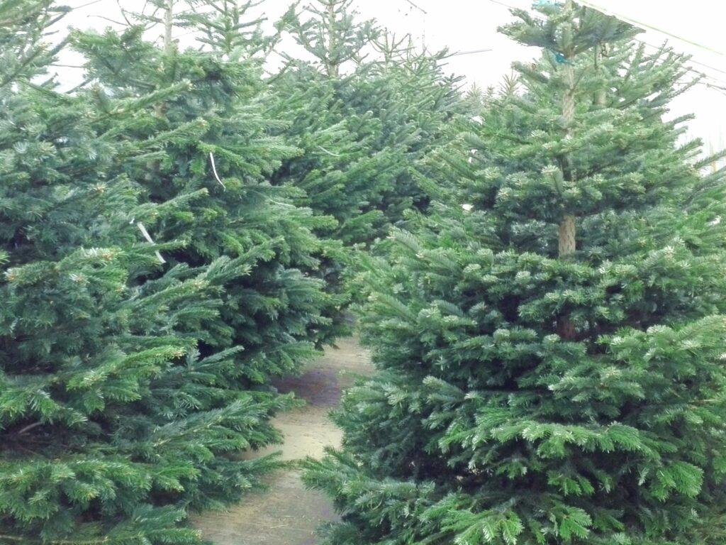 Jodły kaukaskie, cięte, ustawione obok siebie w rzędach, w szkółce krzewów ozdobnych