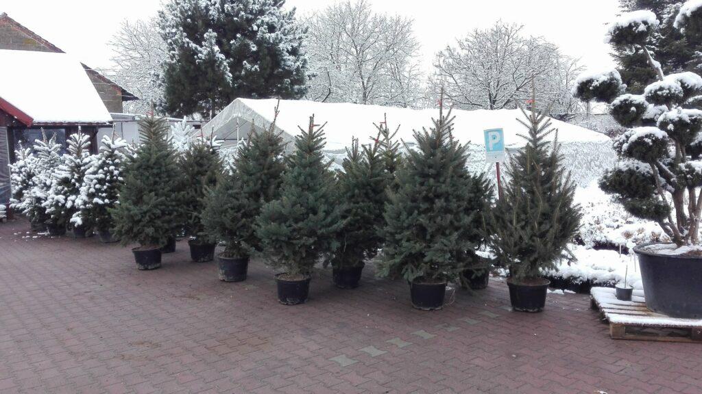 świerki w doniczkach, ustawione w rzędach i przygotowane do sprzedaży w szkółce krzewów ozdobnych