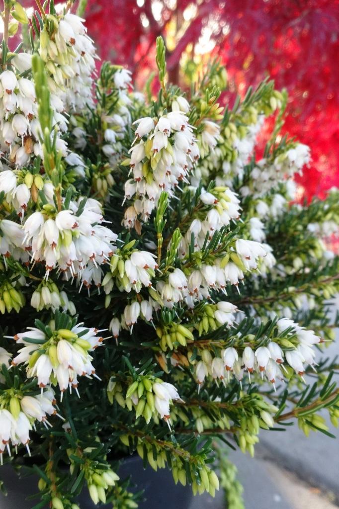 wrzosiec white glow, zakwitnięty (pełen białych kwiatów w formie dzbaneczków), w doniczce, stojącej na płycie chodnikowej, na czerwonym tle