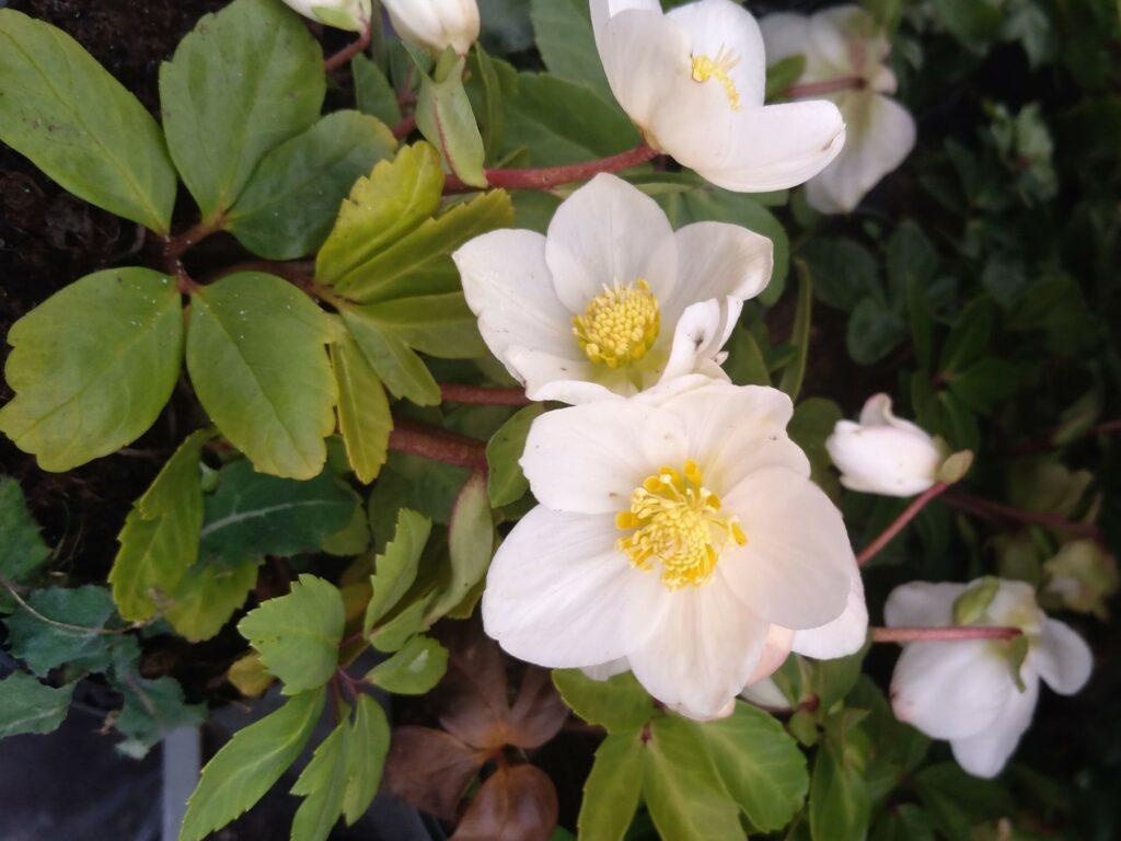 Ciemiernik biały Praecox. Kilka białych, pięciopłatkowych kwiatów z żołtymi środkami, na tle zielonych, podłużnych liści.