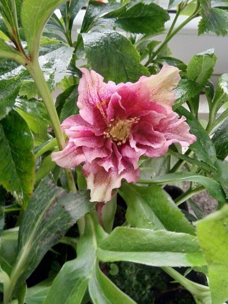 Ciemiernik wschodni Double ellen pink. Jeden różowy kwiat na tle wielu zielonych, podłużnych liści.