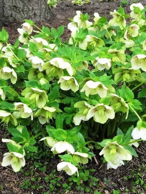 Bylina ciemiernik. Wiele białych, pięciopłatkowych kwiatów z żółtymi środkami i zielone liście. Roślina posadzona w gruncie.