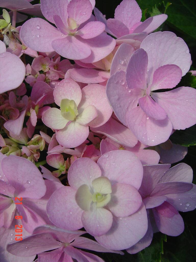 Hortensja, odmiana Forever. Kilka różowych kwiatów hortensji.