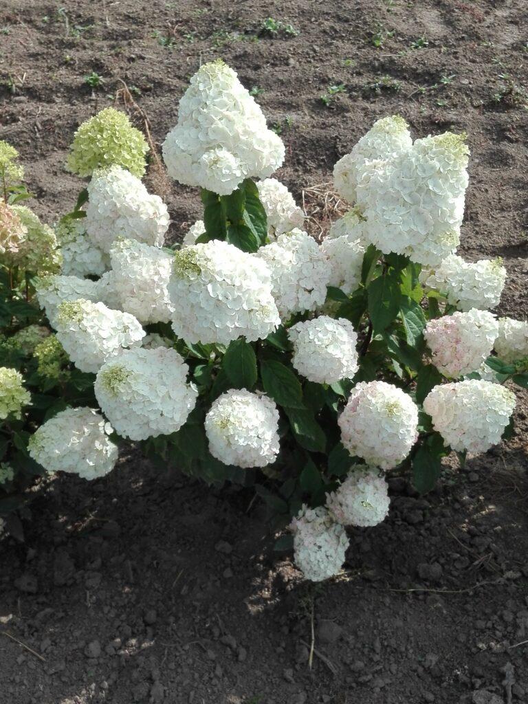 Krzew hortensji ogrodowej. Kilkanaście białych, dużych kwiatów krzewu na tle ziemi, w której rośnie.