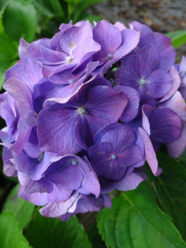 Hortensja, odmiana Renate. Fioletowy, duży kwiat na tle zielonych liści.