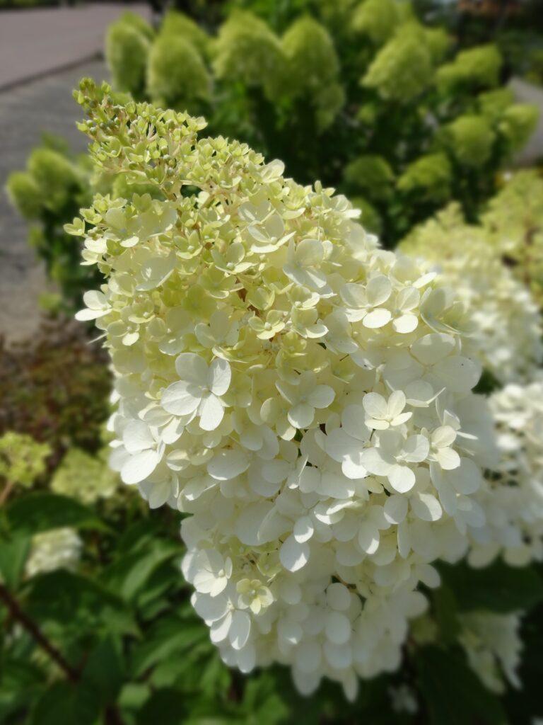 Hortensja bukietowa, odmiana Hydrangea Vanille Fraise. Biały duży kwiat na tle zieleni.