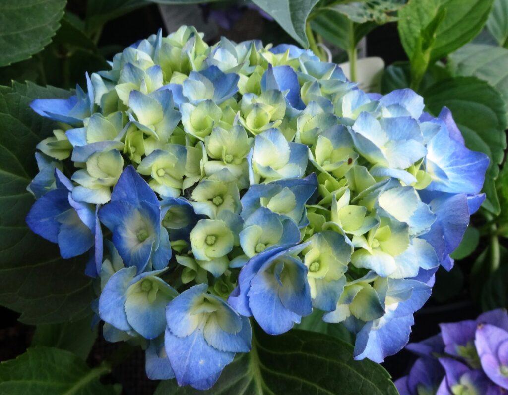 Hortensja, odmiana Hydrangea Bela. Dużu niebieski kwiat,  z żółtymi środkami na tle liści krzewu.