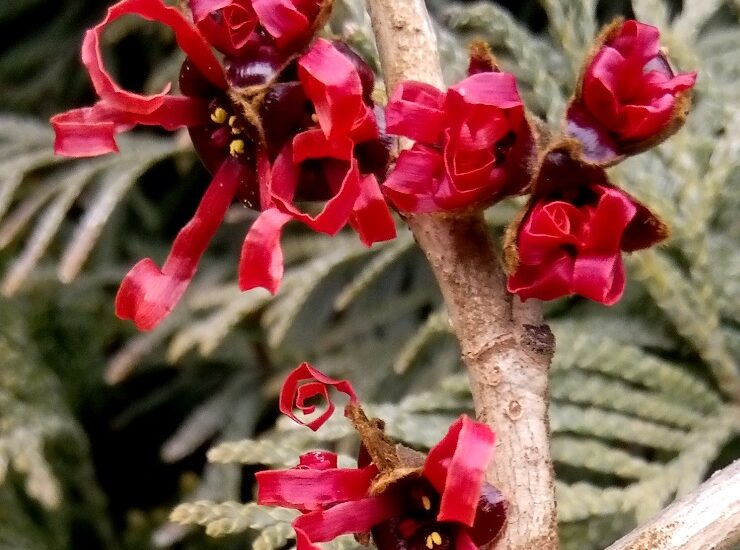 Gałąź krzewu ozdobnego o nazwie oczar pośredni fernzauber hamamelis. Czteropłatkowe, czerwone kwiaty na tle podłużnych, zielonych liści.