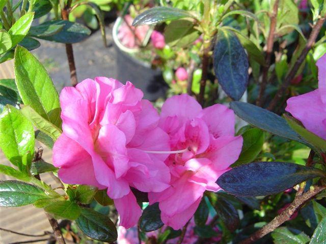 Różowe kwiaty azalii japońskiej BABUSCHKA na tle zielonych łodyg krzewu.