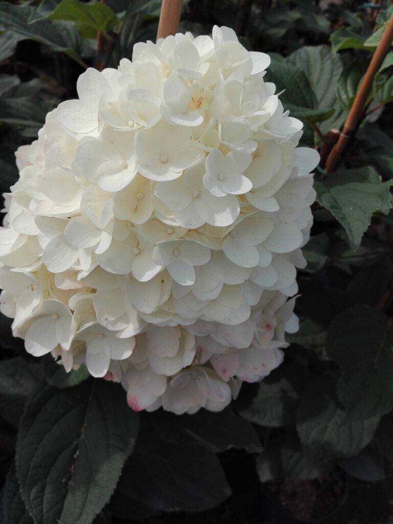 Duży, biały kwiat hortensji bukietowej Silver Dollar na tle zielonych liści.