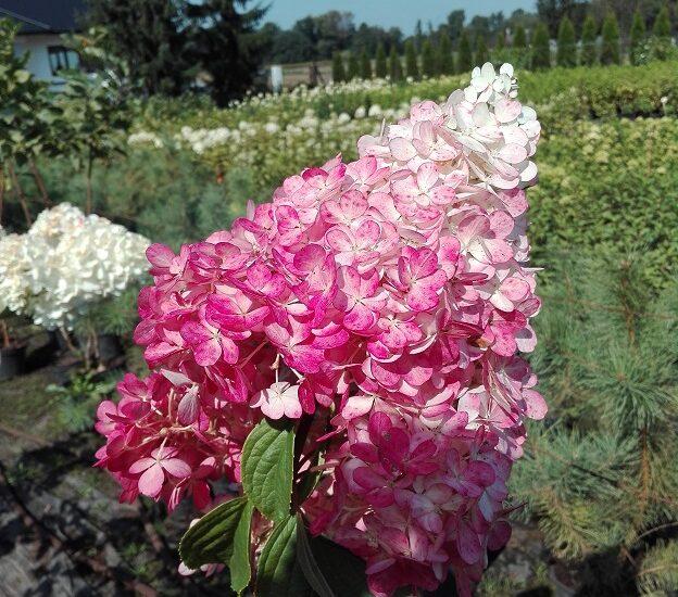 Duży, stożkowaty kwiat hortensji bukietowej Vanille Fraise w kolorze biało-różowym, na tle innej roślinności ogrodowej.