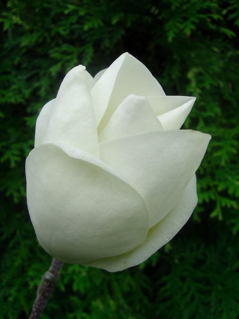 Biały kwiat magnolii lennei alba, nie do końca rozwiniety, na tle zieleni.