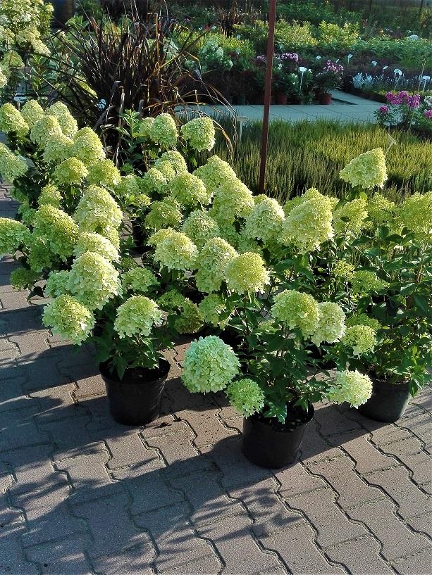 Hortensja bukietowa limelight. Kilka kwitnących krzewów hortnesji, posadzone w doniczkach, stojące na tle rośliności ogrodowej. Krzew o dużych, jasno-zielonych kwiatach.