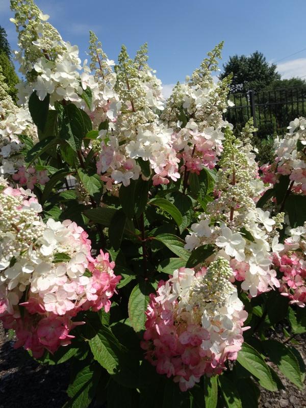 Biało-różowe, duże kwiaty hortensji bukietowej PINKY WINKY na tle zielonych liści i nieba.