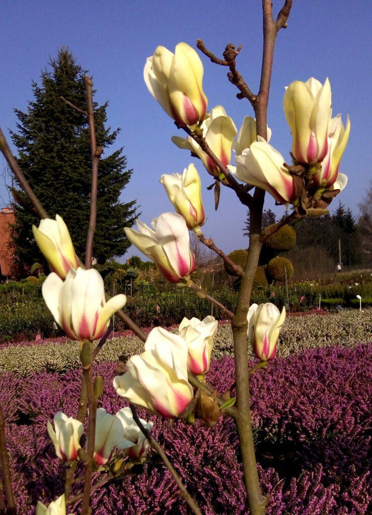 Kilkanaście pąków w kolorze kremowym kwiatów magnolii SUNRISE na tle nieba, wrzosów i zieleni.