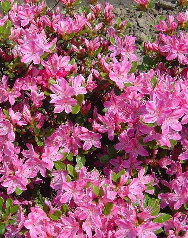 Różowe kwiaty azalii japońskiej KERMESINA ROSE, obficie pokrywające krzew.