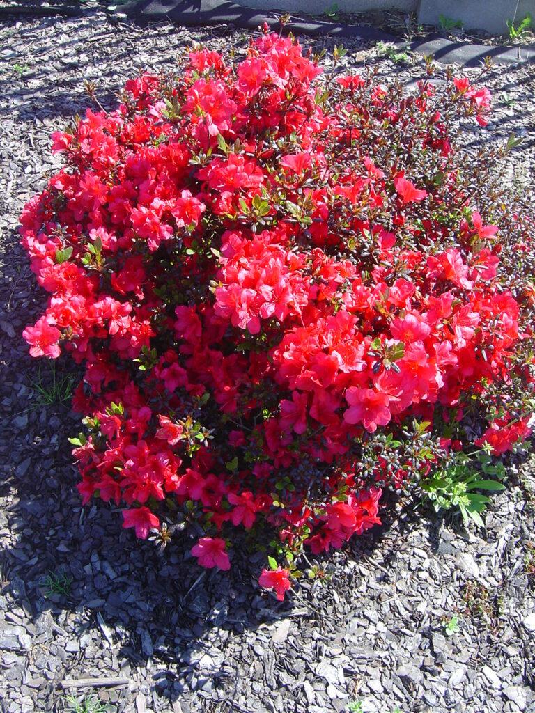 Ukwiecony obficie na czerwono krzew azalii japońskiej MARUSCHKA, posadzony w glebie i zaściółkowany korą.