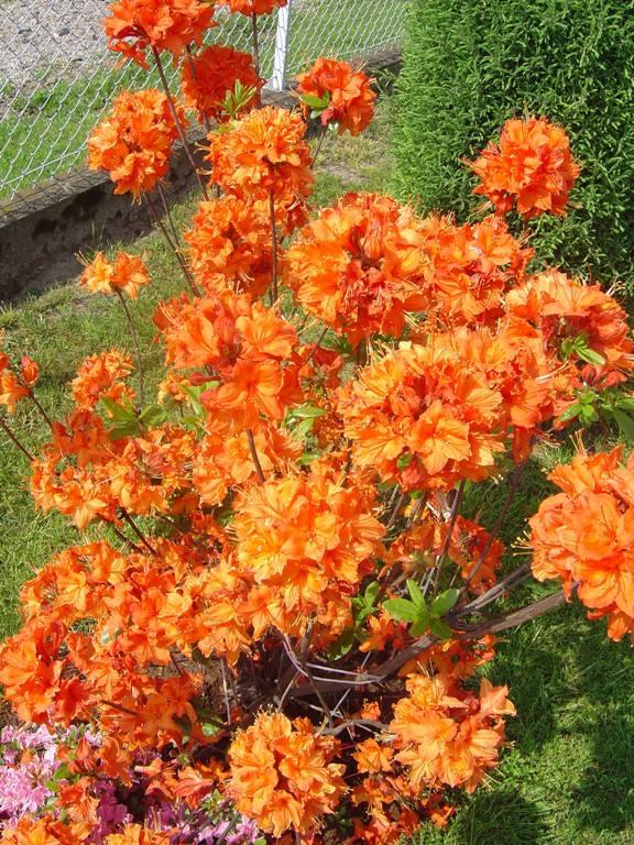 Kwitnący krzew azalii wielkokwiatowej GIBLARTAR na tle zieleni trawnika. Wiele kwitnących, pomarańczowych kwiatostanów.