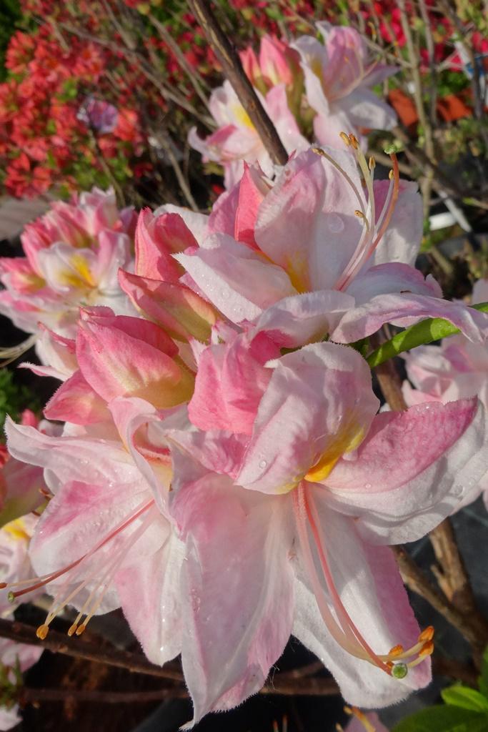 Biało-różowe kwiaty azalii wielkokwiatowej SATOMI na tle innych krzewów ogrodowych.