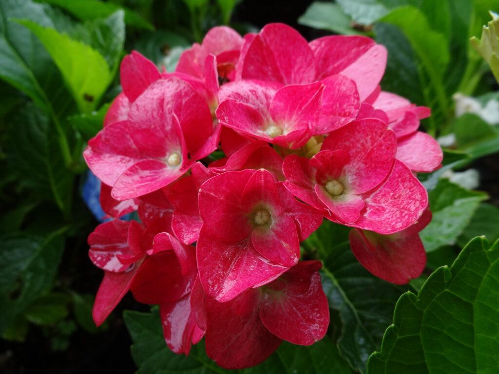 Duży kwiatostan hortensji ogrodowej DORIS, na tle liści krzewu. Kwiatostan ma kolor ciemnego różu, złożony jest z kilkunastu małych kwiatów.