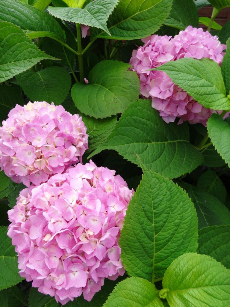 Trzy kuliste, różowe kwiatostany hortensji ogrodowej BOUQUET-ROSE, na tle zielonych liści krzewu. Wszystkie kwiatostany złożone są z wielu drobnych kwiatów.