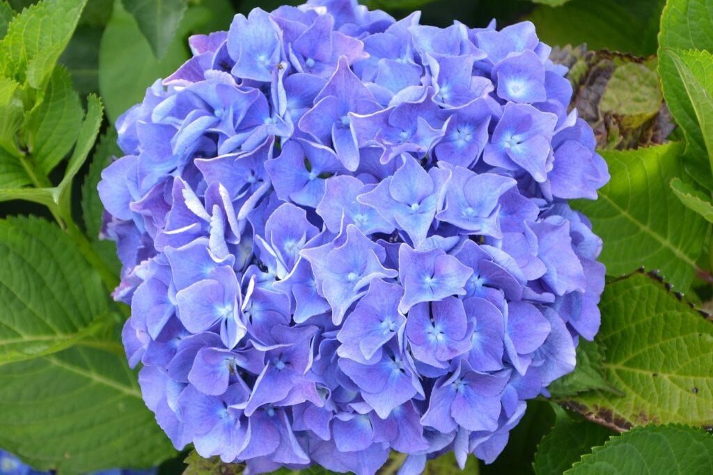 Bardzo duży kwiatostan hortensji ogrodowej EARLY BLUE, w kolorze fioletowym, złożony z kilkudziesięciu małych kwiatów. Kwiatostan sfotografowany z bliska, na tle zieleni ogrodu.