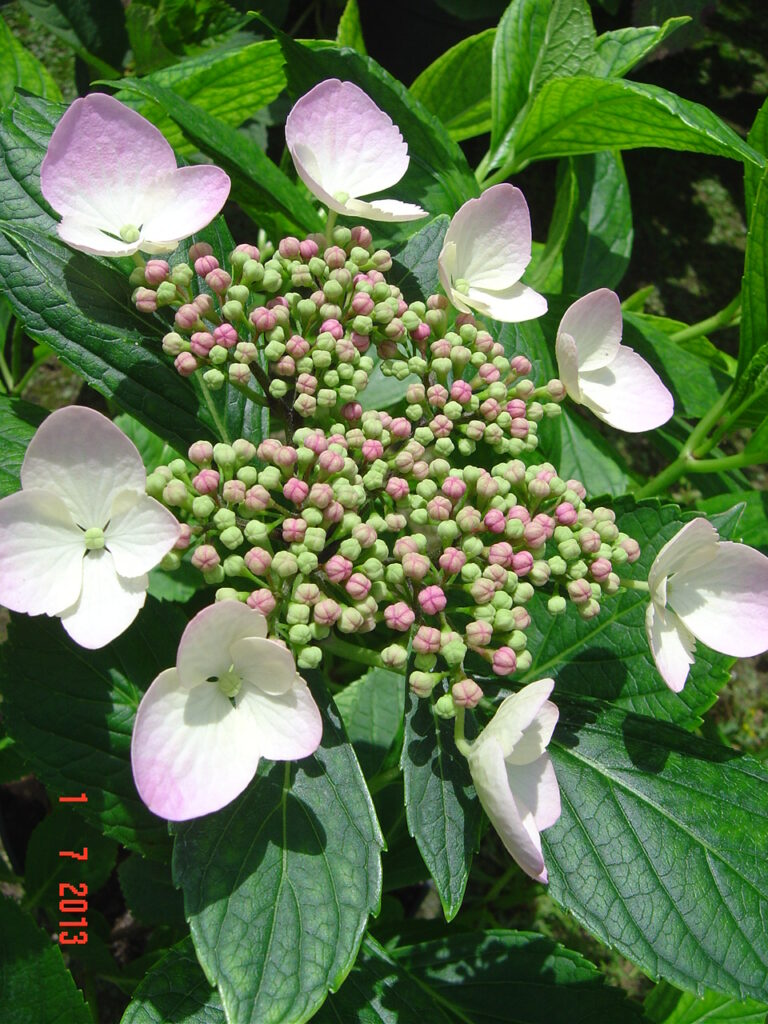 Kwitnący kwiatostan hortensji ogrodowej MARIESII GRANDIFLORA. Kwiatostan z ośmioma małymi kwiatami dookoła, w kolorze biało-różowym. Zdjęcie zrobione z bliska, na tle zielonych liści krzewu.
