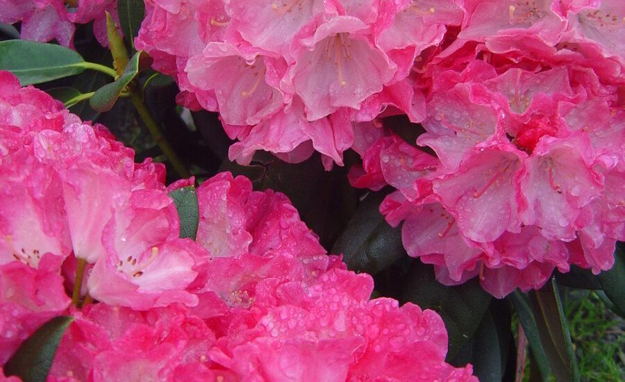 Duże, różowe kwiaty różanecznika FANTASTICA na tle liści krzewu.