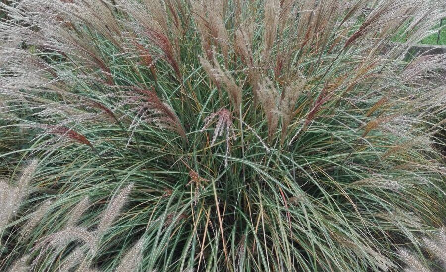 Duży okaz miskanta chińskiego YAKA DANCE. Długie i gęste pędy rośliny ukazane są z bliska na zdjęciu. Na samej górze zdjęcia widać w tle zabudowania.