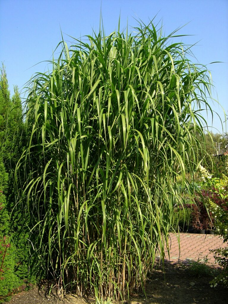 Duży okaz zielonej trawy ozdobnej, miskanta chińskiego olbrzymiego, na tle innej roślinności ogrodowej.