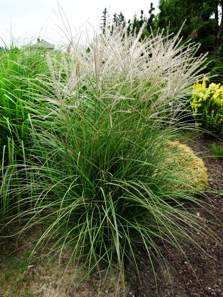 Duży okaz trawy ozdobnej - miskanta chińskiego, na tle innej roślinności ogrodowej.