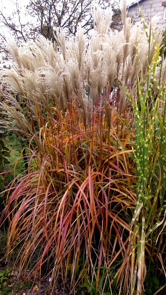 Trawa ozdobna - miskant chiński, odmiana ROTSILBER. Czerwone, długie pędy trawy, na tle zieleni ogrodu.